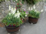 Wedmore in Bloom